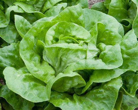 lettuce green mignonette pohlmans phone