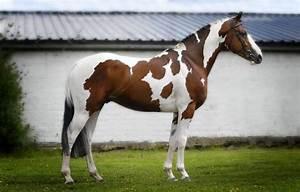 Horse Breeds - StudyBlue
