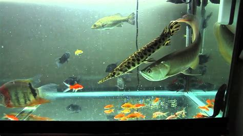 monster fish tank feeding youtube
