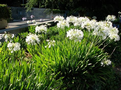 Schmucklilien / Blühende Kübelpflanzen