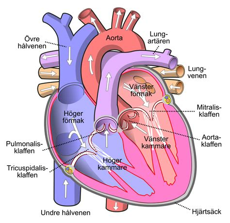 filediagram   human heart cropped svsvg