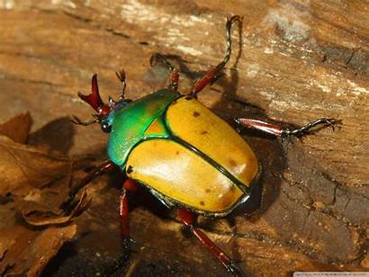 Colorful Beetle Beetles Insect Wallpapers Desktop Insects