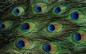 Wallpapers of peacock feathers hd wallpaper cave