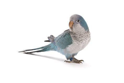 blue quaker parrot blue quaker parrot pet related keywords blue quaker parrot pet long tail keywords keywordsking