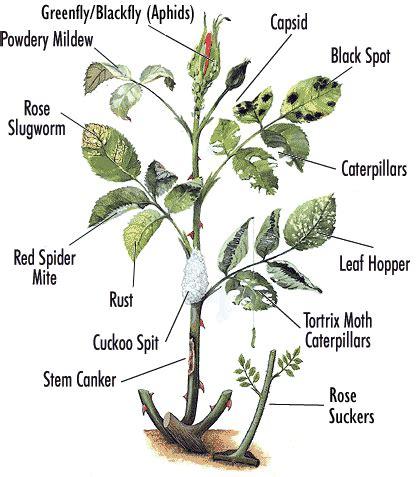 Diagrams Make You Master Growing Roses