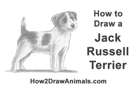 draw  dog jack russell terrier