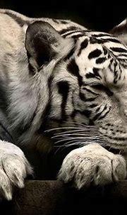 White Siberian Tiger Wallpapers | Animals, Animal ...