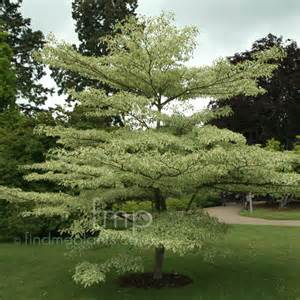cornus controversa 39 variegata 39 variegated dogwood information pictures cultivation tips