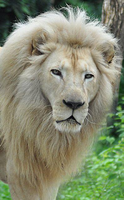 Cincinnati Zoo White Lion