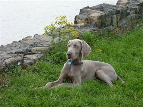 do weimaraner dogs shed a lot all about weimaraners breeds picture