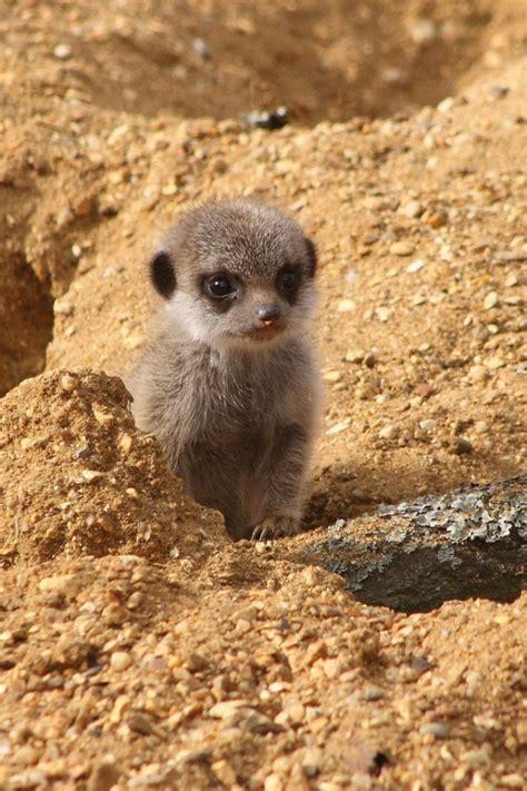 images  meerkats  pinterest exploring