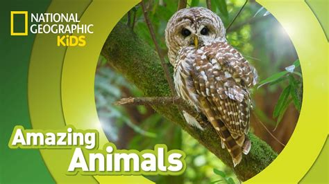 Spotted Owl  Amazing Animals Youtube