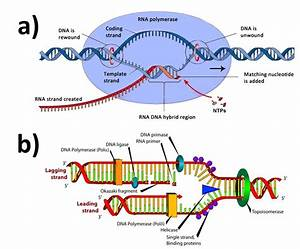 3  Sketches Of The A  Dna Transcription  32  And B  Dna