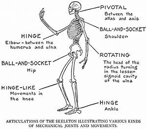 Joints Of The Body Diagram - Anatomy Body List