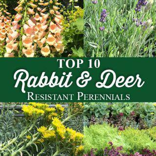 rabbit resistant perennials crocker nurseries