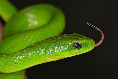 chinese mountain snake snake snake venom chinese mountains