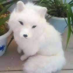 Baby Arctic Fox Pet