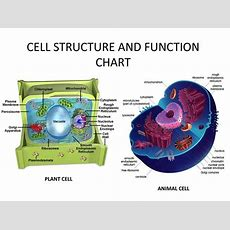 Cell Structure And Function Chart  Estudos  Pinterest  Cell Structure And Charts