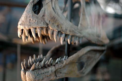 dinosaur  stock photo dinosaur skull