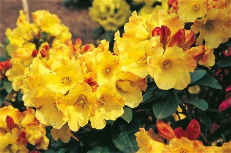 Zeltainais rododendrs. Skaisti ziedošs krūms, kuram piemīt ...