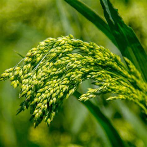 growing millet organic