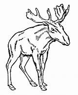 Moose Coloring Pages Wild Antlers Drawing Animal Head Cartoon Young Male Template Animals Elk Clipart Colouring Sheet Popular Getdrawings Coloringhome sketch template
