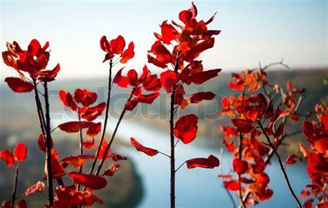zweige von einem busch mit roten stockfoto colourbox