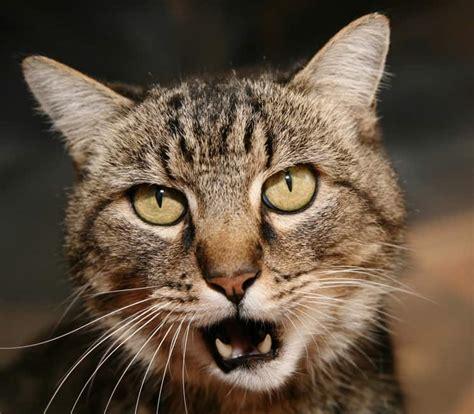 cat yowl  night hills pet