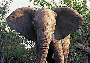 Artificial selection in action: more elephants are being ...
