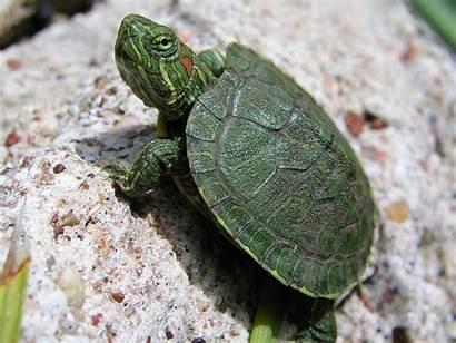 Turtle Sea Animal Wallpapers Animals
