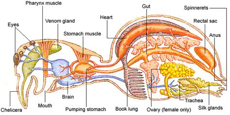 Elephant digestive system diagram elephant digestive system diagram email facebook google twitter 0 comments ccuart Image collections
