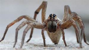Wolf Spider Wallpaper and Background