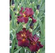 17 Best Images About Floral  Iris On Pinterest Boogie