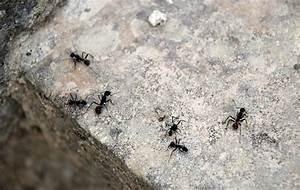 Mittel Gegen Rote Ameisen : ein nat rliches mittel gegen ameisen so haltet ihr sie von der k che fern ~ Whattoseeinmadrid.com Haus und Dekorationen