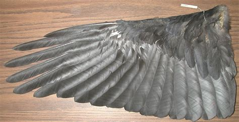 raven wing feathers male washington july