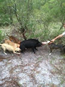 Wild Hog Hunting with Dogs