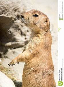Prairie Dog (genus Cynomys) Standing Up On His Legs Stock ...