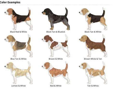 colors pictures  info  beagle colors