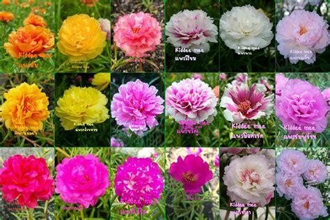 แพรเซี่ยงไฮ้ Kiddee mee ดอกไม้แต่งสวนเบ่งบานสดใสทุกวัน