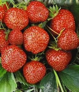 Erdbeeren Pflegen Schneiden : erdbeeren pflanzen tipps zur pflege d ngen schneiden ~ Lizthompson.info Haus und Dekorationen