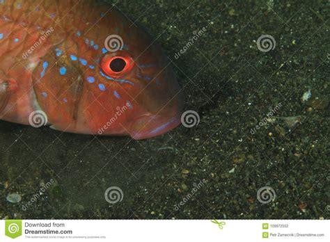 saddle grouper head bottom cephalopholis lembeh sexmaculata feeding sand fish sea