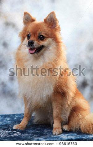 fox face pomeranian dogs pomeranian fox face fox