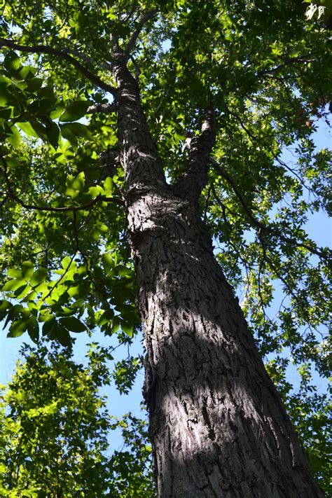hickory tree file redhickorytree jpg wikimedia commons