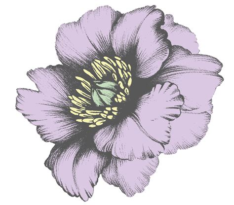 black stand aster flower