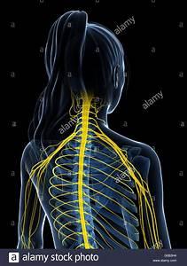 Central Nervous System Diagram Stock Photos  U0026 Central