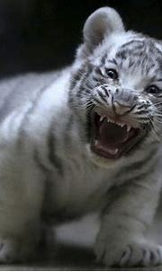 White tiger cubs maul keeper to death in India   Arab News
