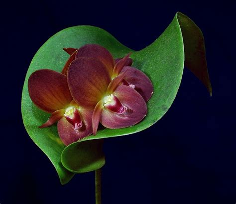 orchids bloom cycle 1000 images about plants orchids on pinterest orchid flowers jewel orchid and flower