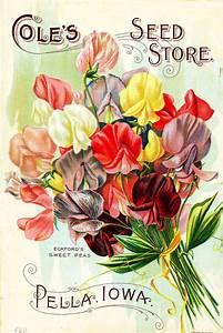 Canvas Prints Vintage Seed Packet Sweet Pea Flowers Print