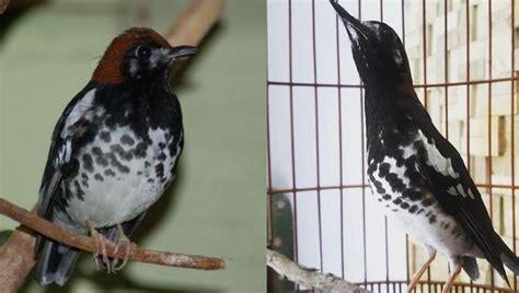 Suara burung flamboyan jantan dan betina gacor full isian di alam liar pikat anakan mp3. 6 Ciri Burung Anis Kembang Jantan Dan Betina - | Burung, Betina, Gambar