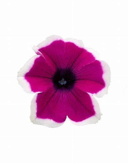 Surfinia Purple Impulz Picotee Vigour Petunia Dark